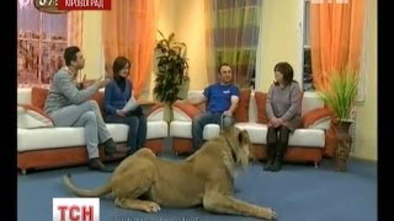 На кіровоградському телебаченні лев напав на ведучу