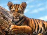Мария Лукач   Подарок (Подарите мне тигренка)