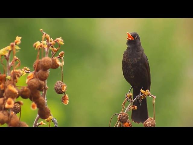 САМЫЕ ПЕВЧИЕ ПТИЦЫ) Пение птиц ВЖИВУЮ без фанеры