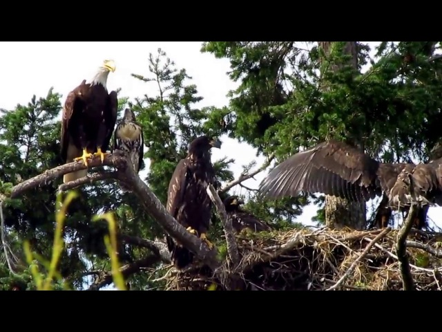 Roberts Bay Eagle and Hawklet family June 25-2017