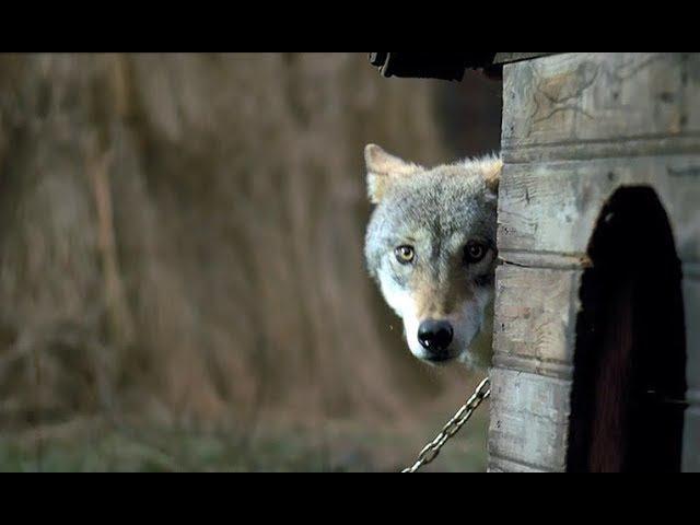 Волчица. Фильм