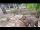Слон помог товарищу выбраться из водоема