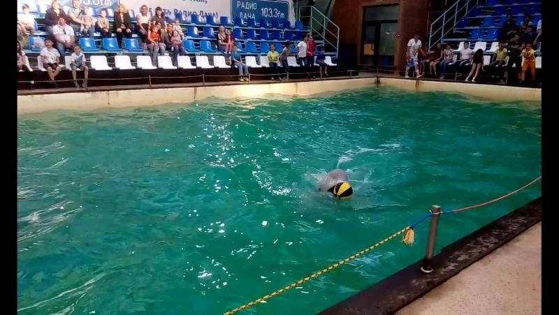 белуга Федя играет со зрителями в мяч в ростовском дельфинарии 28 05 17