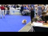 Euro Dog Show Kiev 2017.  Tampa Bay Veron Prayd Pom