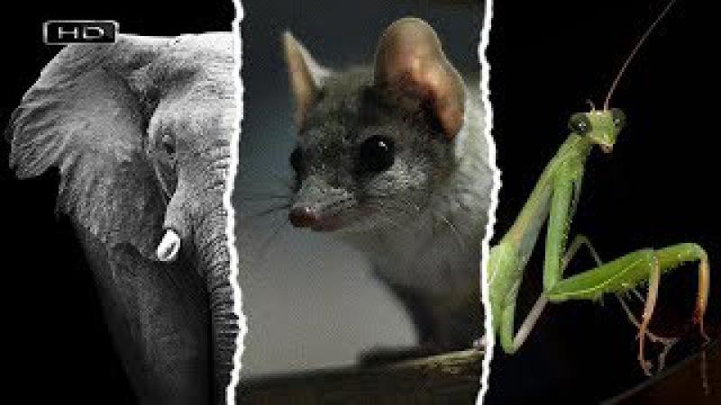 Семь смертных грехов - Похоть (Африканский слон, Сумчатая мышь, Богомол)