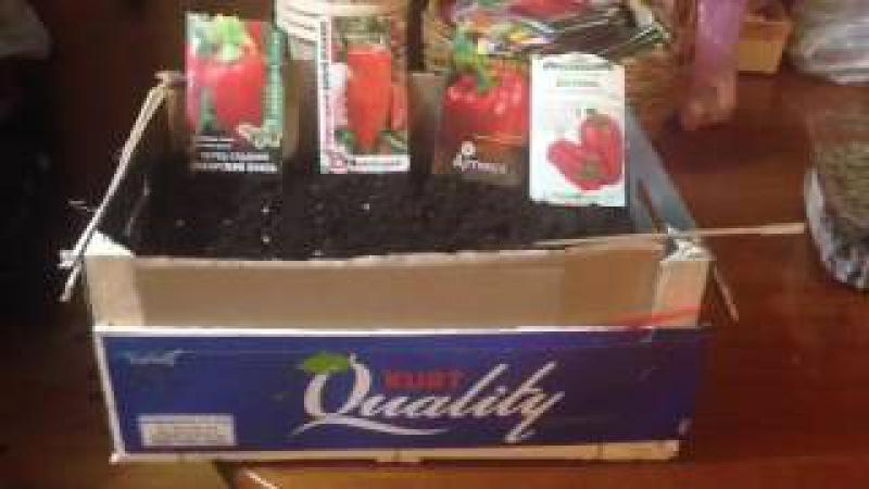 Выращивание рассады перца ( самый простой способ )