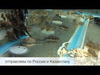 Сом парчовый птеригоплихт оранж Pterygoplichthys sp. продажа оптом