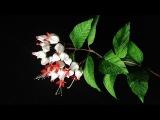ABC TV  How To Make Bleeding Heart Vine Paper Flower - Craft Tutorial