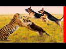 EXTREME TRAINED DISCIPLINED GERMAN SHEPHERD DOGS