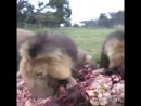 Hungry Lions Rush To Eat GIANT Pile of Mystery Meat!!
