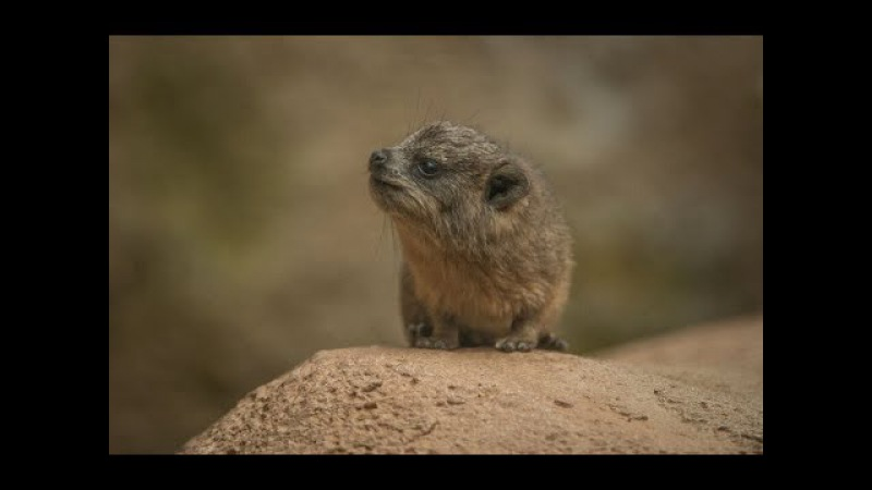Tiny rock hyrax triplets born at Chester Zoo