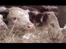 Фермер Шамиль Ахтямов разводит герефордскую породу коров в селе Ажинское