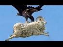 Chúa tể bầu trời săn mồi kinh điển nhất - Giant Eagle vs people vs king cobra vs lizard on camera