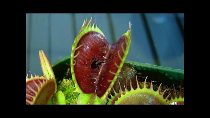 Top Venus Fly Trap on camera - Mùi hương thần chết quyến rủ con mồi thực vật ăn thịt nguy hiểm nhất