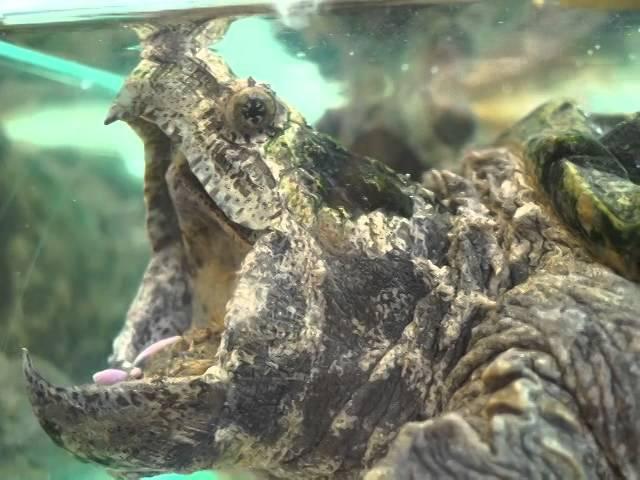 Грифовая черепаха (Macroclemys temminckii) заманивает рыб на язык-червяка