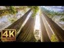 Самые высокие деревья планеты. Фильм о Национальном и государственных парках Редвуд в 4К качестве
