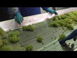 Сортировка винограда в «Лефкадии»