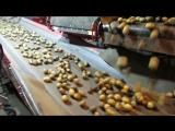 Картофель проходит фейсконтроль перед хранением