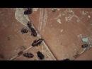 Як у фільме жахаў. У Берасці – нашэсце вялізарных прусакоў В Бресте нашествие огромных тараканов Белсат
