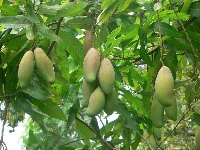 136 How to grow a mango tree साधारण आम को सुपर फलदार पौधा बनाना Mango tree trea