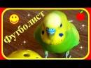 Попугай футболист Смешной волнистый попугай Приколы