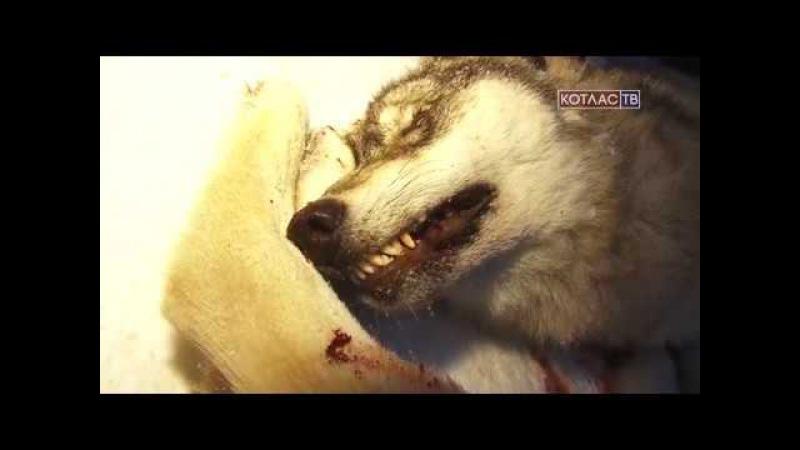 Волки атакуют дер Федотовская 23 11 2017