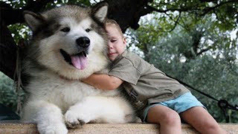 Adorable Alaskan Malamute playing with kids Dog Loves Baby Compilation