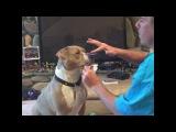 Спиннер питбуля. SPINNER Spinner Спиннер , спеннер питбуль стаффорд собака пес Dog Pit Bull Dog Spinner vs Pittbull