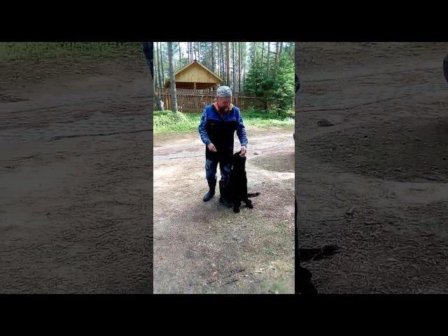 Гросс Эрфольг Рэм-Бо, тренировка послушания. 4,5 месяца.