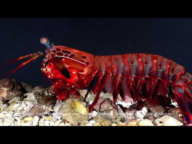 Mantis Shrimp Sound File | California Academy of Sciences