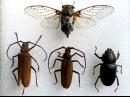 Как препарировать жуков