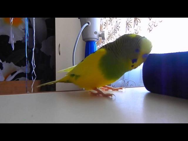 Волнистый попугай хорошо говорит