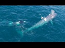 5 18 Drone Killer Whales Harass a Blue Whale in Monterey Bay California