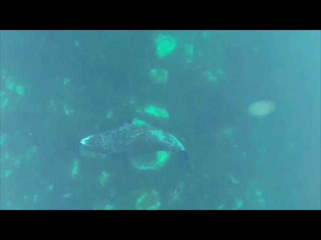 Гренландский кит чешется об валуны