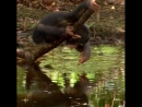 Young Chimpanzee Making Faces in the Water