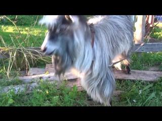 Битбокс козел