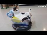 Ленивые котики