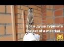 Коты и Сурикаты. О переселении душ ! Забавные домашние животные / Cats and Meerkats