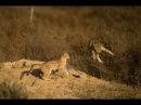 Пустынный кот в природе: индийский пустынный кот, он же азиатский степной кот (Felis silvestris ornata) с котятами [Wild India]