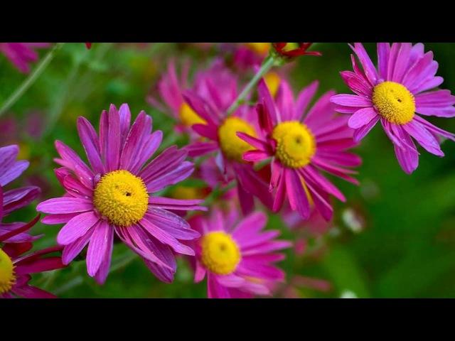Пиретрум розовый или Персидская ромашка