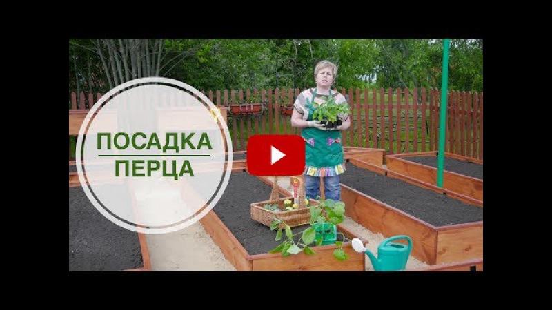 Посадка перца ✿ Секреты высадки рассады в открытый грунт | Сад огород с HitsadTV