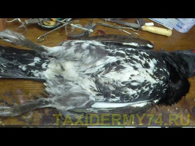 Первый Видеоурок по таксидермии птиц: изготовление изделия Чучело глухаря