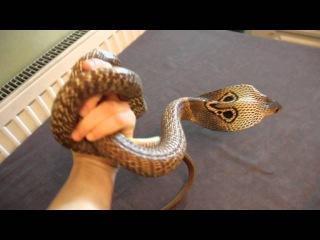 Очковая кобра.