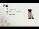 Мопс Введение в собаковедение Dogs 101