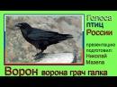 Ворон. Ворона. Грач. Галка. Голоса птиц России