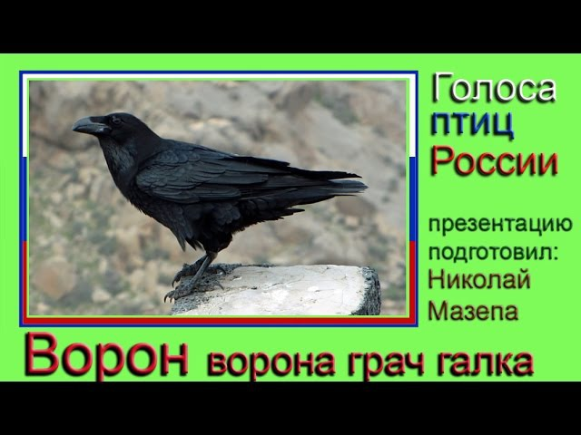 Ворон Ворона Грач Галка Голоса птиц России