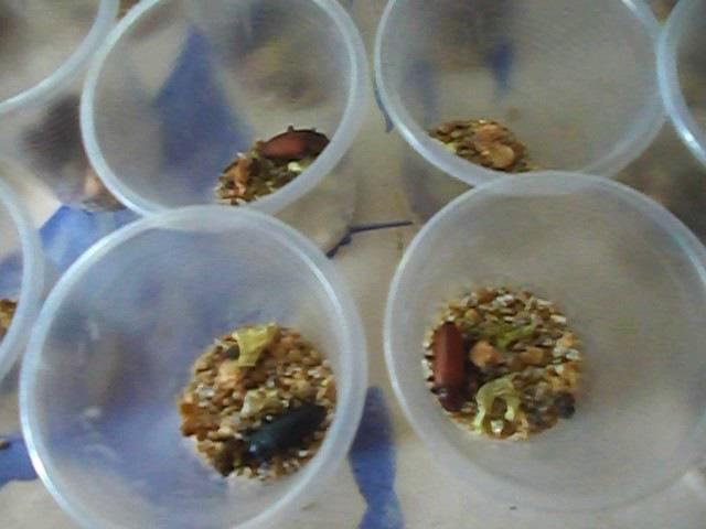 Разведение зофобаса для корма рептилий ящерец птиц и высокой экзотической кухни на мастер шеф