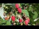 Осенняя малина. Как выращивать ремонтантные сорта.
