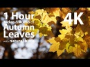 4K UHD - Autumn / Fall Leaves with birdsong audio - relaxing, meditation, nature - 1 hour