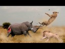 НОСОРОГ В ДЕЛЕ Носорог против слона львов буйвола